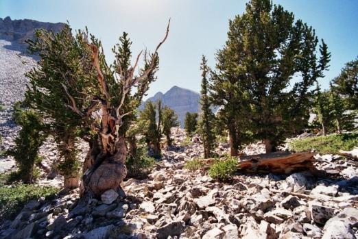 Bristlecone pines.